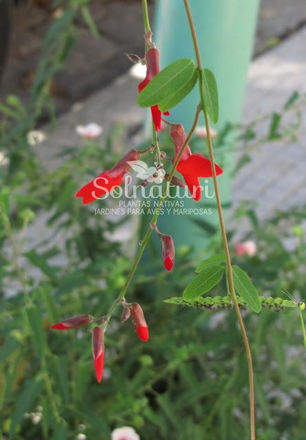 Camptosema rubicundum  Isipó colorado