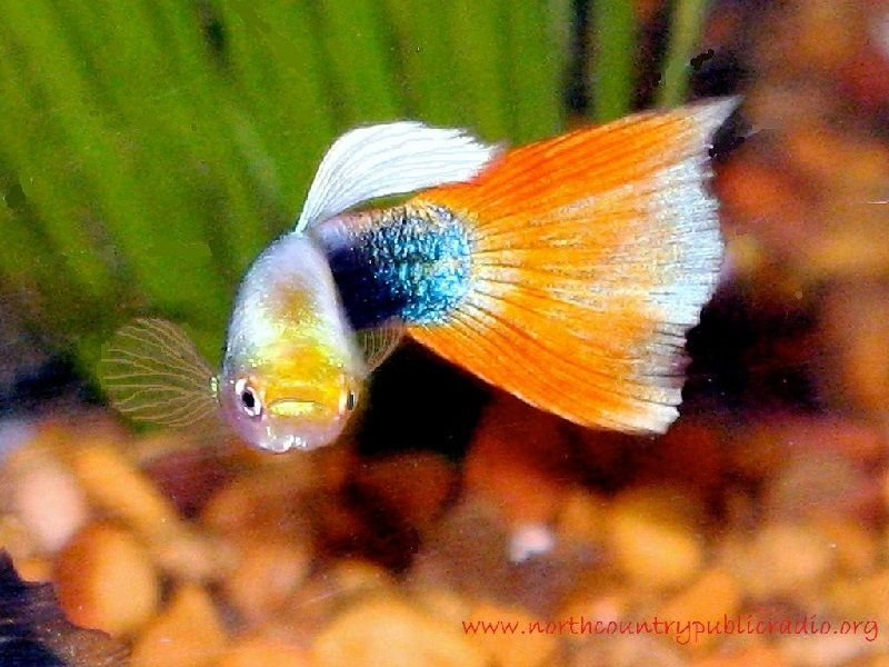 Ikan Aquascape yang Kuat - Guppy