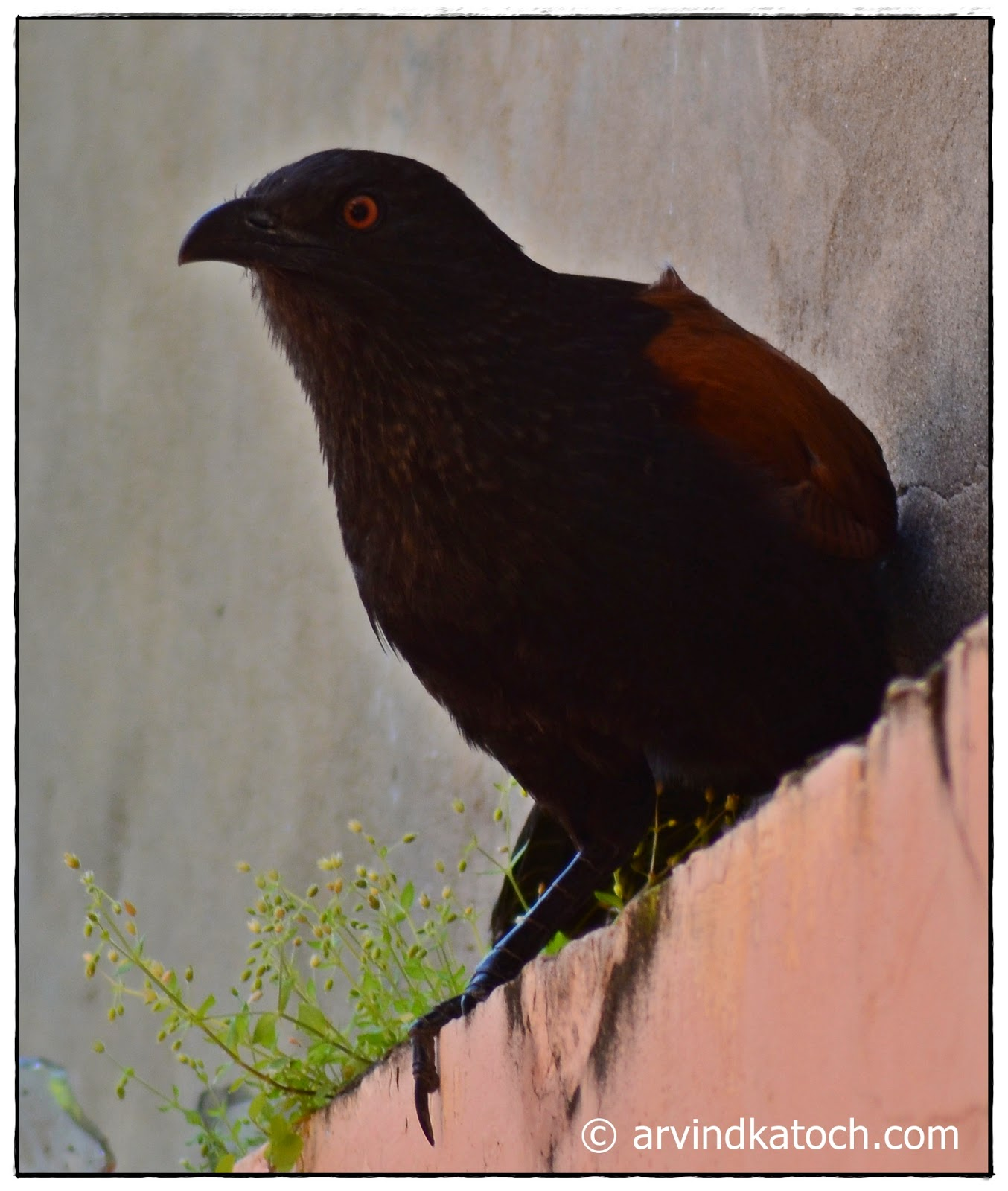 Crow Pheasant, Greater Coucal, Home,