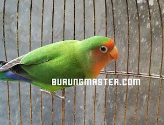 Gambar Lovebird hasil kawin silang