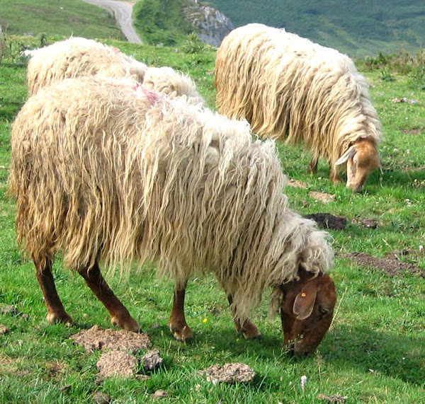 Sheep Breeds In India Best Breeds For Highest Wool Meat