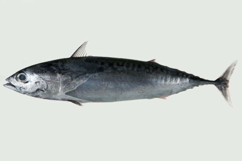 Gambar Jenis Ikan Tuna-Tongkol lisong atau lisong (Auxis rochei)