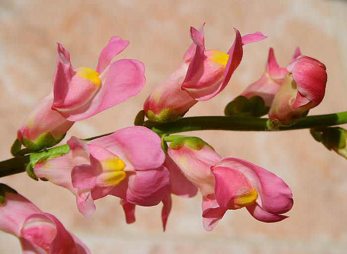 Light Colour Shade Summer Colours Garden Flowers Pink White