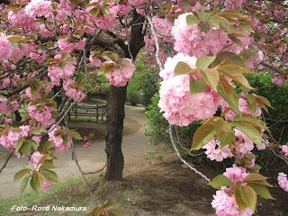 flor de sakura com poema de cora coralina