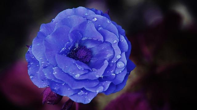 hinh anh dep hoa hong xanh