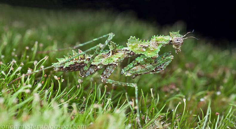Really Cute Dog Wallpaper The Mysterious Moss Mantis Of Malaysia Featured Creature