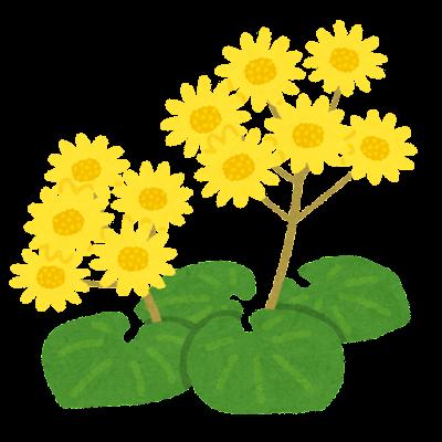 ツワブキのイラスト(花)