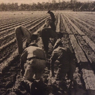 Men plant celery in a large farm field in WPA photo from the 1930s