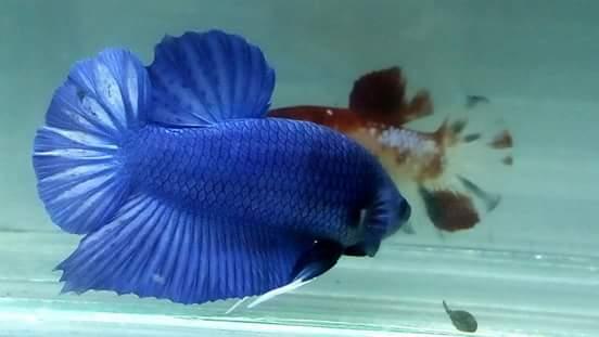 Unduh 450+ Gambar Ikan Cupang Umur 4 Bulan Terbaru