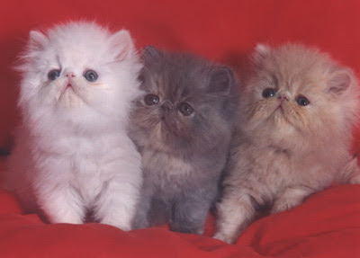 gatito,persa,cuidados,caracteristicas .