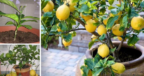 How To Grow An Unlimited Supply Of Lemons Using Just One Seed