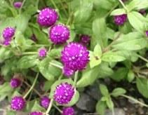 Manfaat bunga knop