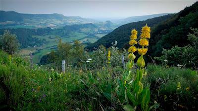 Gentiane - Nature - Montagne