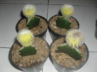 kaktus mini souvenir
