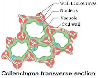 Notes of Ch 6 Plant Tissues| Class 9th Science « Study Rankers
