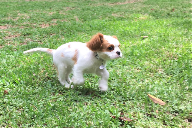 Tiny Darcy runs across the lawn