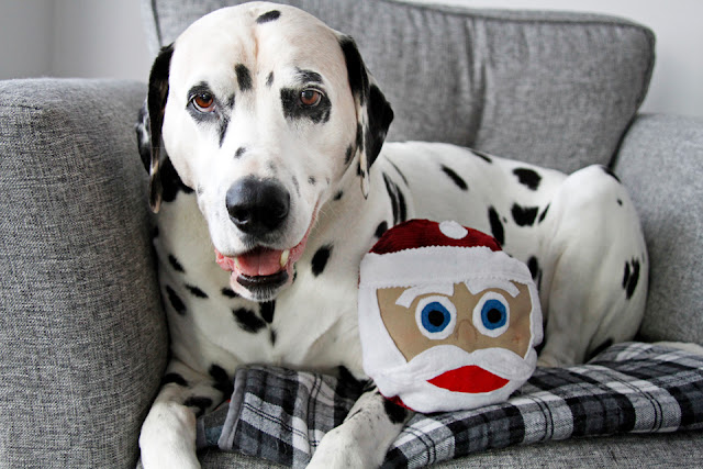 Smiling Dalmatian dog sitting on a chair with a Santa Claus dog toy
