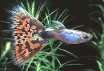 Gambar Ikan Guppy Mosaic-Lazuli Mosaic
