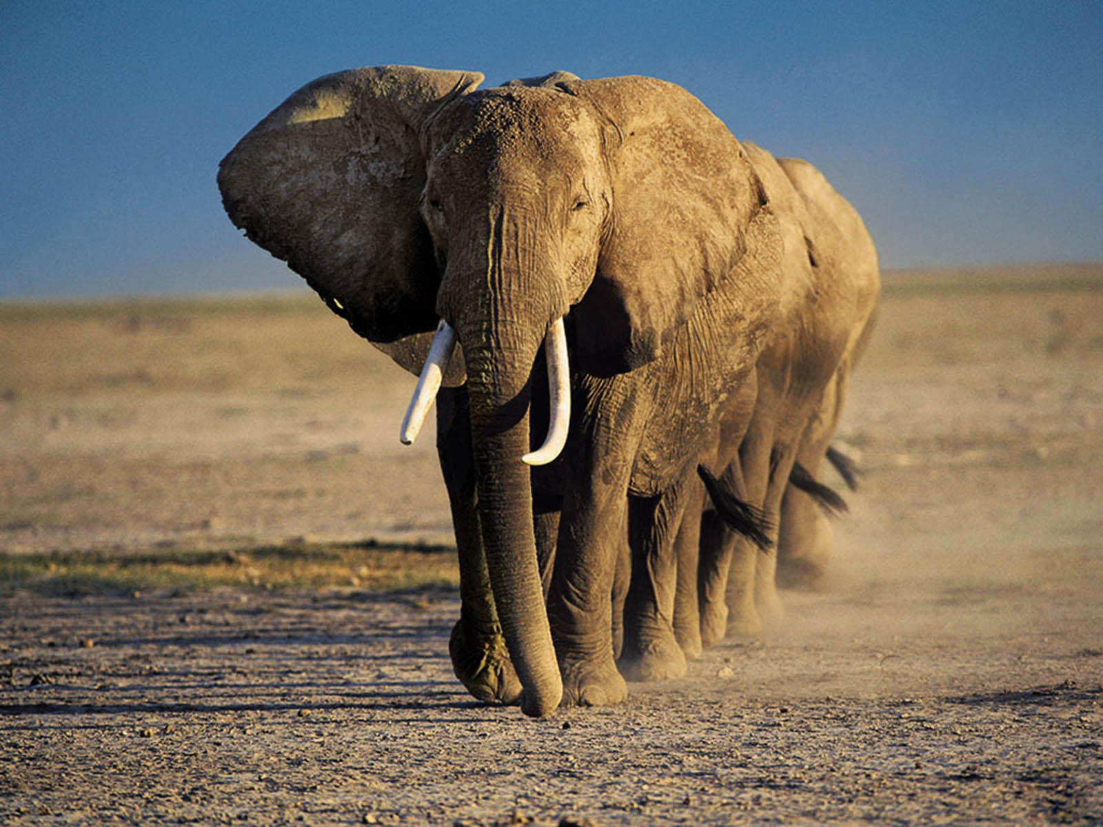 elephant wallpapers backgrounds wild animal elephants african animals africa geographic national wildlife bing baby favorite tag amazing