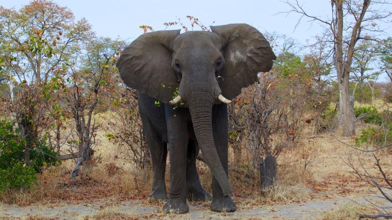 Beautiful Wild Elephant HD