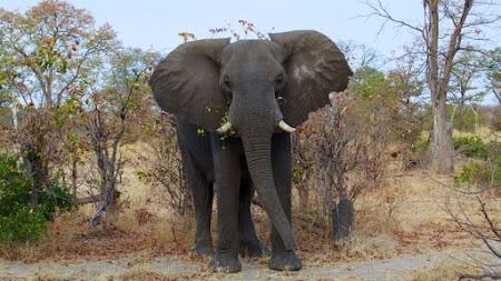 Beautiful Wild Elephant