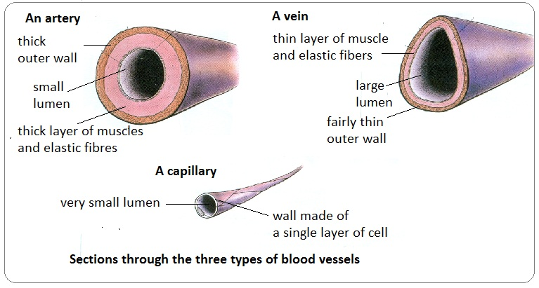 # 72 Arteries, veins and capillaries - structure and ...