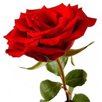 Mawar Merah Memang Paling Por Di Antara Lainnya Hampir Setiap Kali Si Dia Datang Membawa Untuk Yang Terkasih