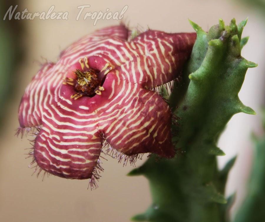 Flor típica de la planta suculenta Tromotriche revoluta var. tigrida