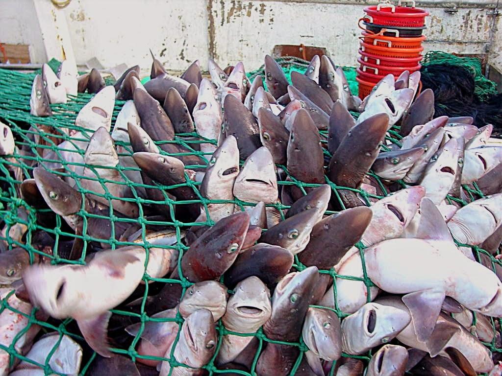 Tiburones en Galicia: El tiburón, mejor fuera del plato