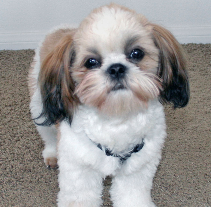 shih tzu puppis puppy dog breeds photos 714