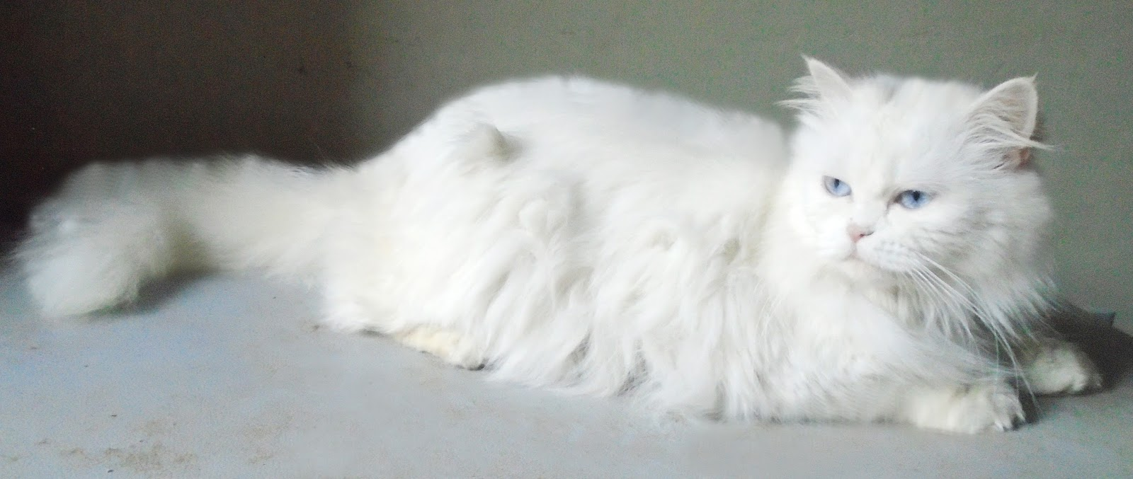 female cat for sale contact 03152020714 age 11 month old pure persian ...