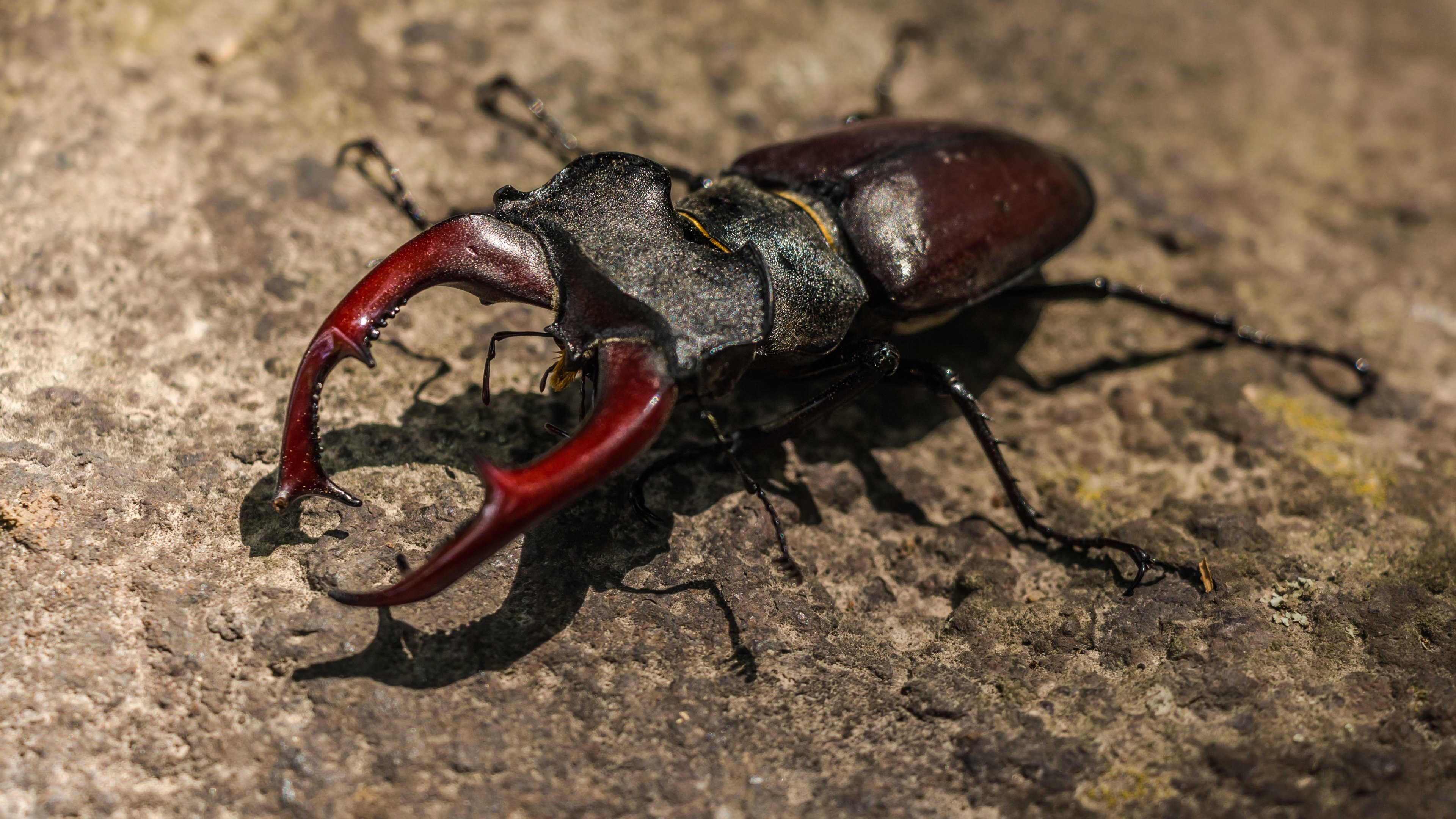 Stag Beetle Wallpaper