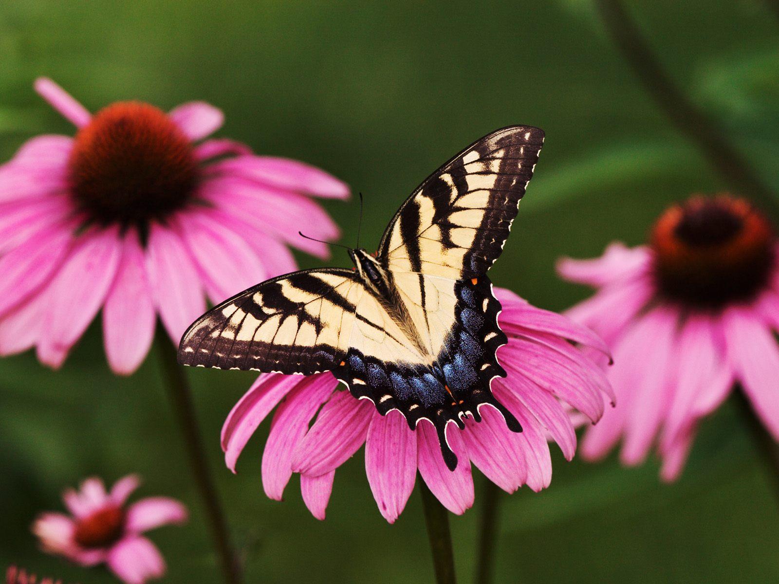 111 Beautiful Butterflies Wallpapers