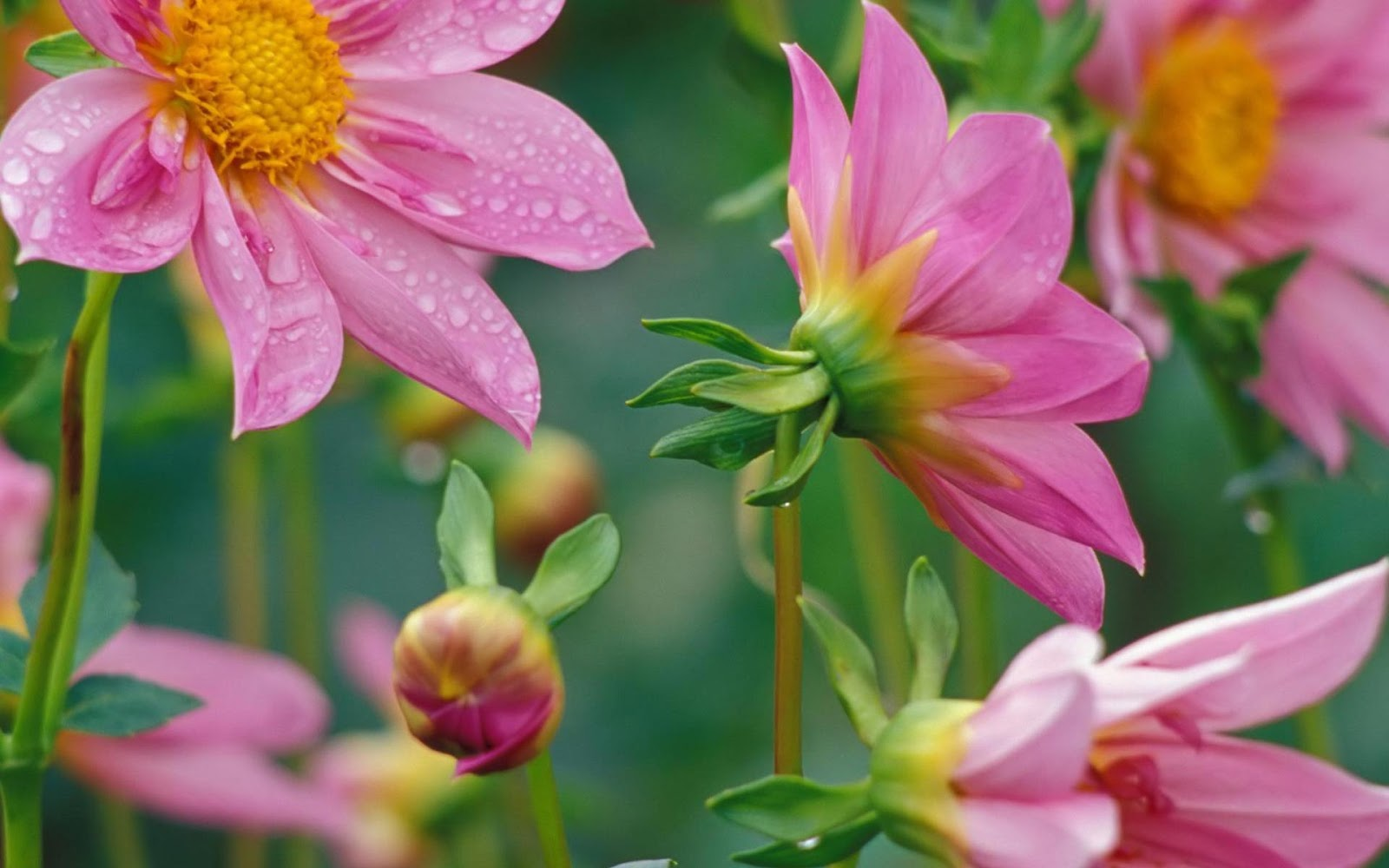 Flowers For Flower Lovers.: Desktop Beautiful Flowers HD