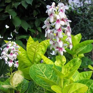 bunga melati jepang
