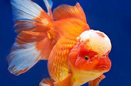 Inilah Jenis Ikan Koki Beserta Gambar Ikan Koki lionchu