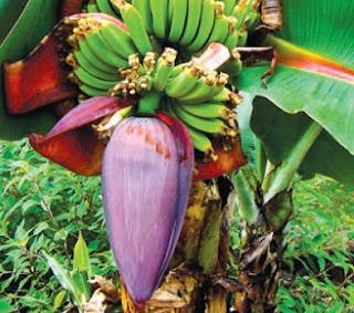 cara mengolah jantung pisang agar tidak pahit,cara memasak jantung pisang agar tidak pahit,mengolah jantung pisang menjadi dendeng,cara memasak jantung pisang agar tidak hitam,