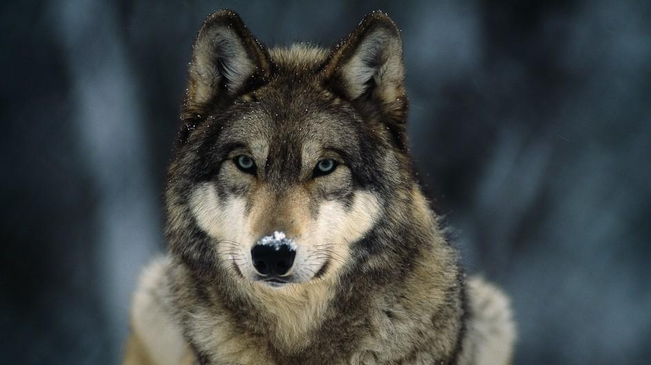 The rural blog 72416 73116 western ranchers say resurgence of gray wolves is putting livestock at risk publicscrutiny Images