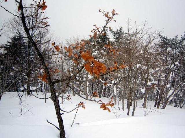 山頂のカシワ