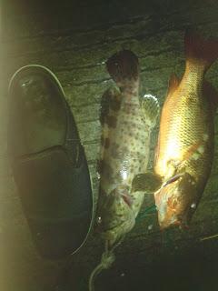 jenis ikan air payau-kerapu mangar
