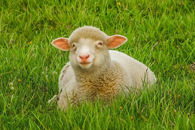 ovca u horoskopu