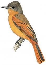 Rufous Flycatcher