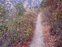 Poison oak along Van Tassel Ridge Trail in Fish Canyon