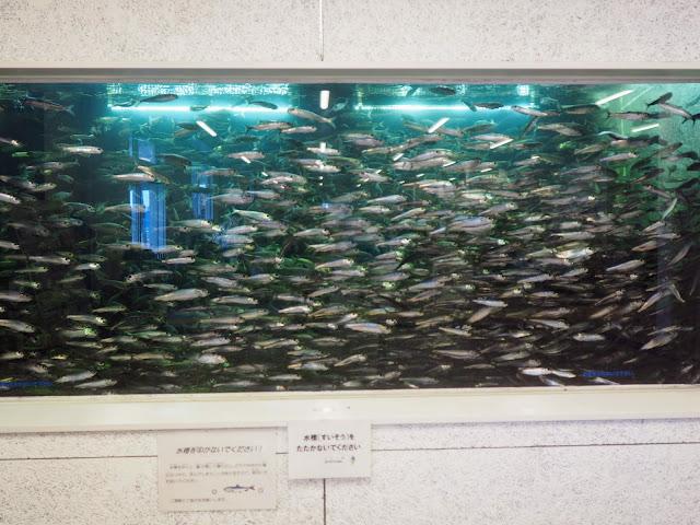 片貝漁港 海の駅九十九里 イワシ水槽