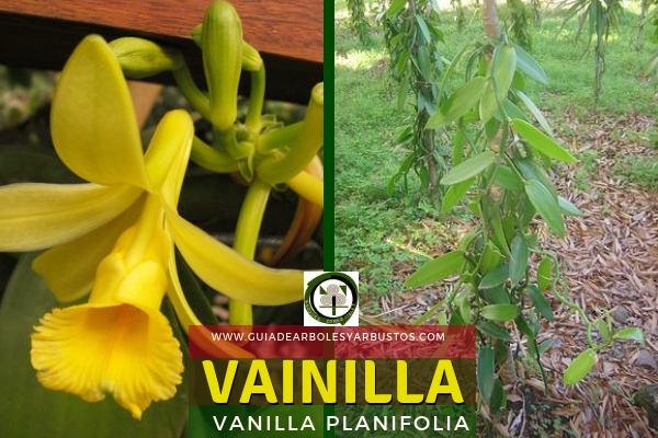 La vainilla, Vanilla planifolia, es una planta de la familia Orquidáceas
