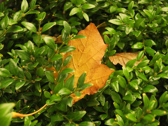 Leaf made more gold by strange sky on October 16th 2017 fallen on box bush