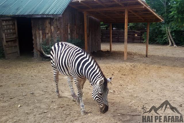 zebra in microrezervatia de langa Delfinariu Constanta