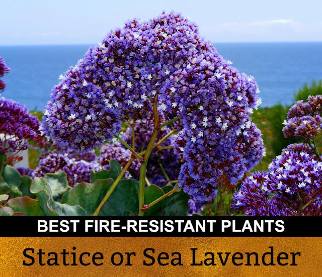 Best Fire Resistant Plants Statice Sea Lavender