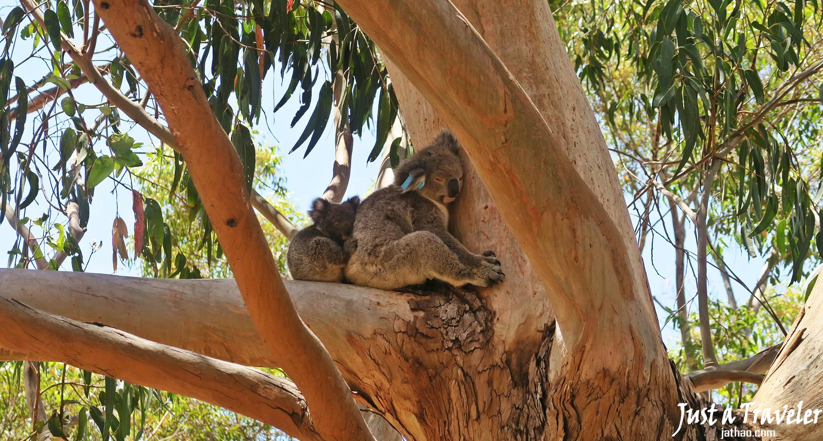 Adelaide-Kangaroo Island-Koala-Transportation-Ferry-Attractions-Itineraries-Recommendation-Travel Blogs-Back-Pack Travel-Independent Travel-Tour-Day Tour-Two Day Tour