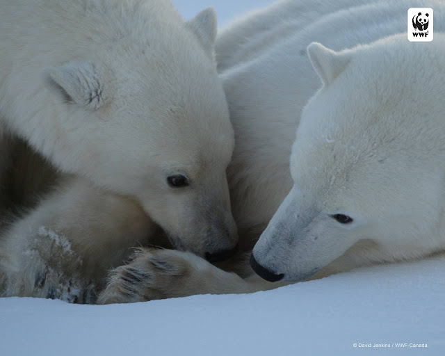 Polar bears, WWF